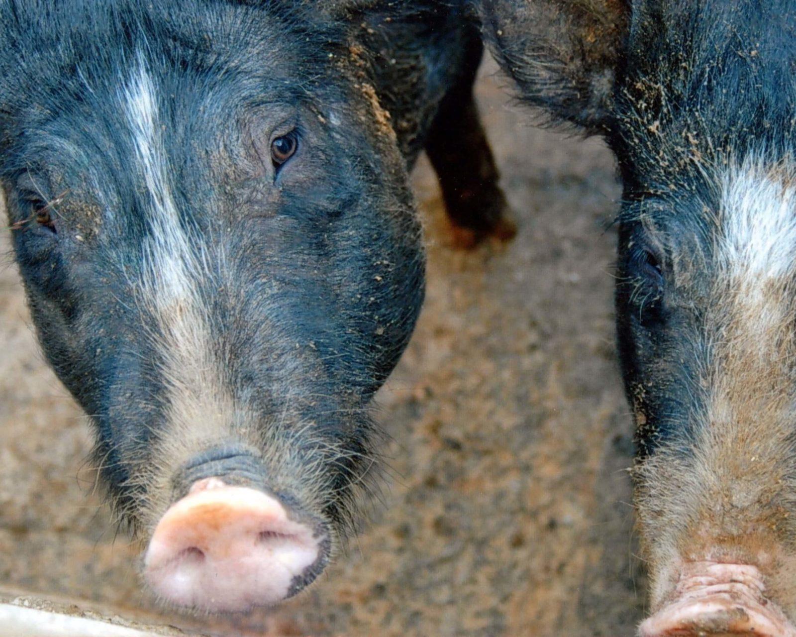 animali in azienda agricola amantea